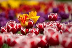 tulips-gardener